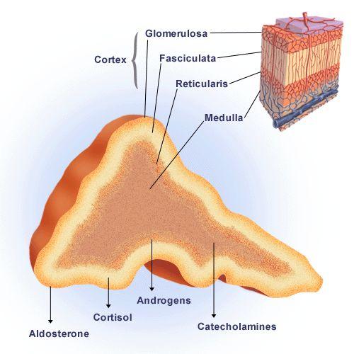 zona glomerulosa fasciculata reticularis - Google Search