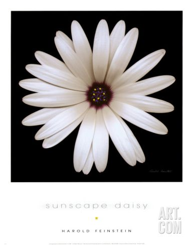 Sunscape Daisy Art Print by Harold Feinstein at Art.co.uk