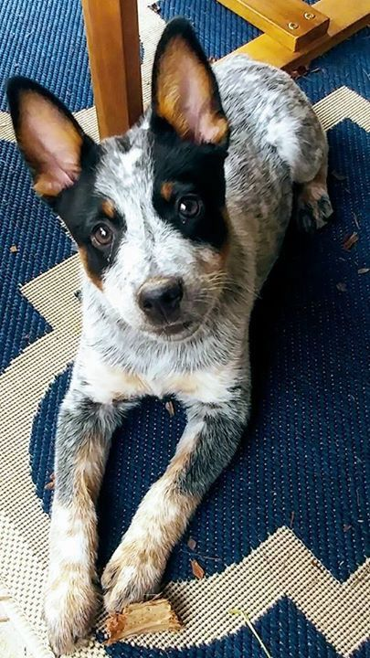I get to pick up my baby heeler from the shelter today, and I can't stop looking at photos of these beauties in the mean time! ❤❤