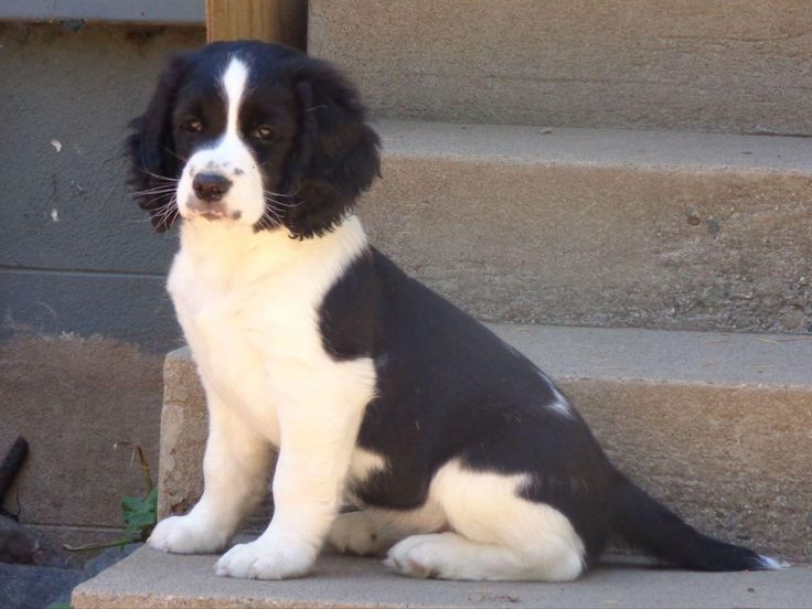 English Springer Spaniel for sale in Biggs, CA by Claire Berkley on American Kennel Club Marketplace