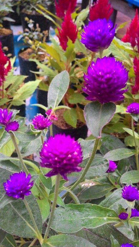 Purple of flowers
