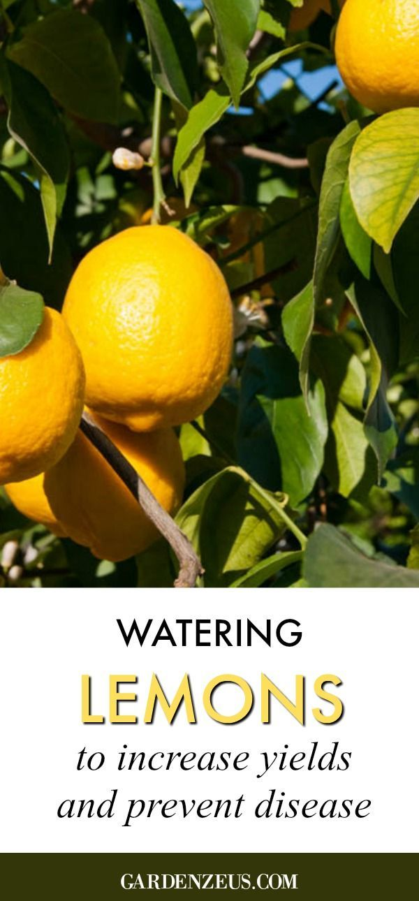 Learn How To Easily And Quickly Grow Lemon Trees In Pots Number 5 7 And 9 Are My Favorite Lemon Diy How To Grow Lemon Growing Lemon Trees Potted Trees