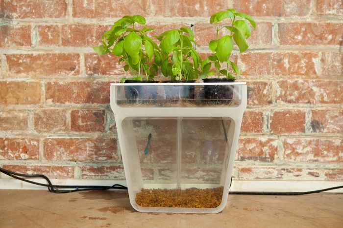 indoor aquaponics . . . filters leftover fish food and waste to top for plant fertilizer