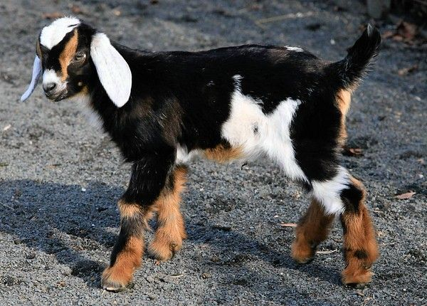 Baby Nubian Goat--beautiful | Goaties | Pinterest | Goats ...