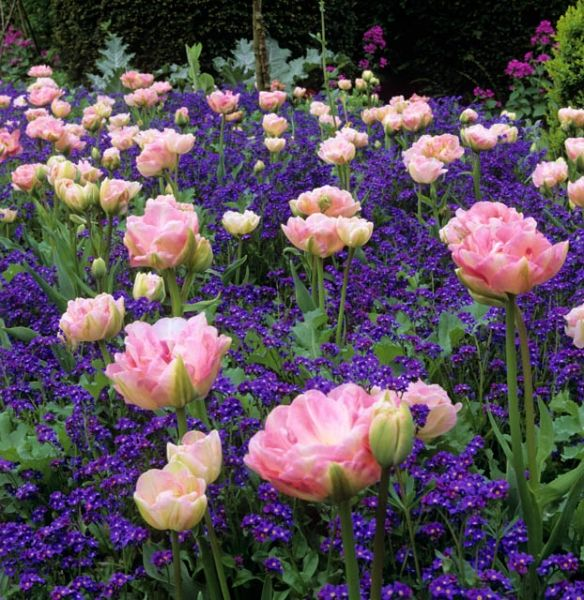 Spring Combination Ideas, Bulb Combinations, Plant Combinations, Flowerbeds Ideas, Spring Borders,Tulip Angelique, myosotis sylvatica, forget-me-not,Tulipa angelique, Double late tulips