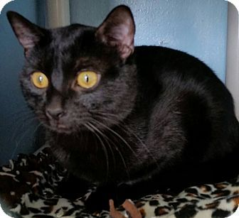 Three Brothers - URGENT - Hazel Park Animal Control Shelter in Hazel Park, MI - ADOPT OR FOSTER - 3 identical Young Neutered Male Black Domestic SH Cats