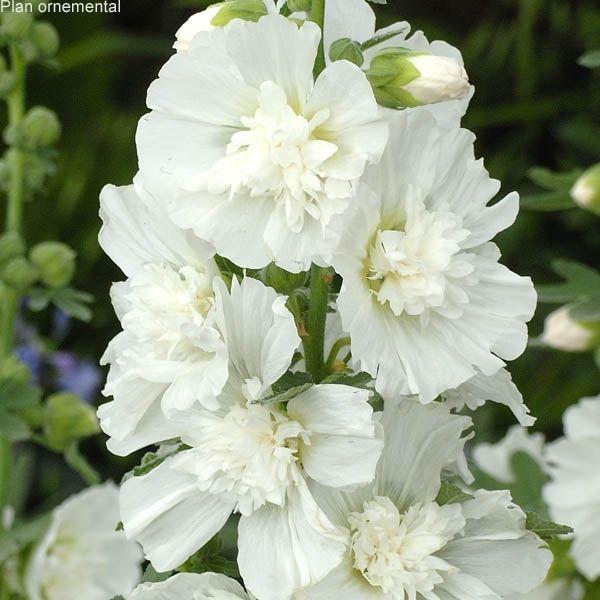 Alcea rosea « Spring Celebrities White », rose trémière à fleurs doubles blanches.