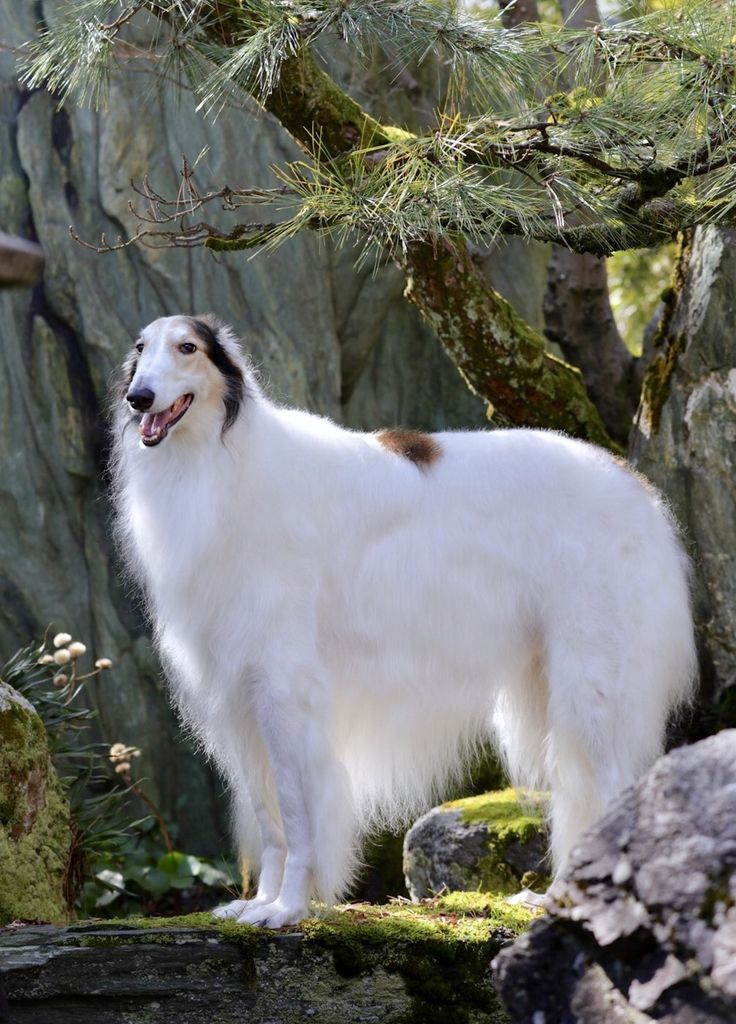 Borzoi An Old Breed Also Known As Russian Wolf Hounds
