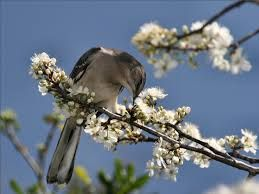 Image result for birds and blossom wallpaper