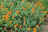 518003 - Rock rose (Helianthemum)
