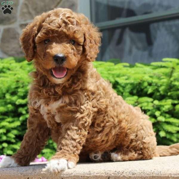 Aleah, Goldendoodle-Miniature Puppy