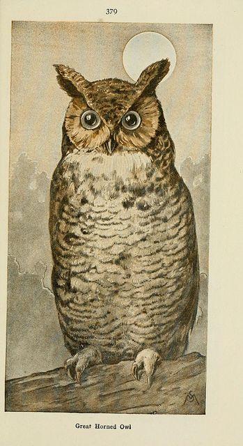 vintage great horned owl illustration via Biodiversity Library