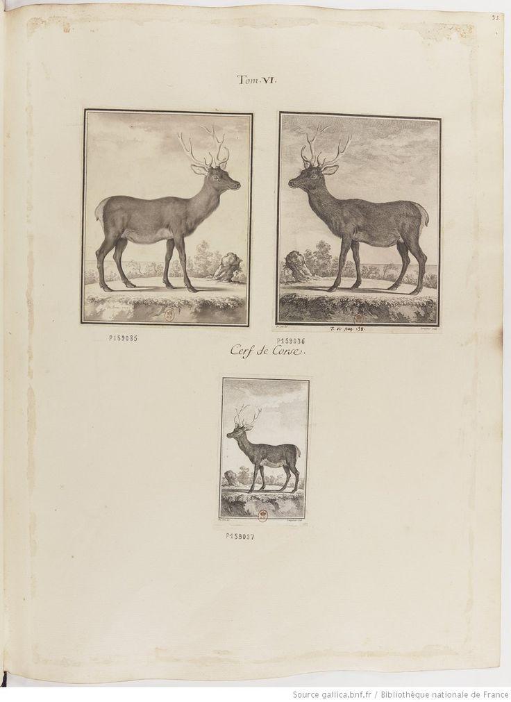 Cerf de Corse, Figures pour l'histoire des quadrupèdes, par M. de Buffon.. Tome II / Déssins [sic] originaux par DeSeve et Buvée, avec les Gravures des Editions in12 et in4° vol. 5 à 7. | 1755-1758