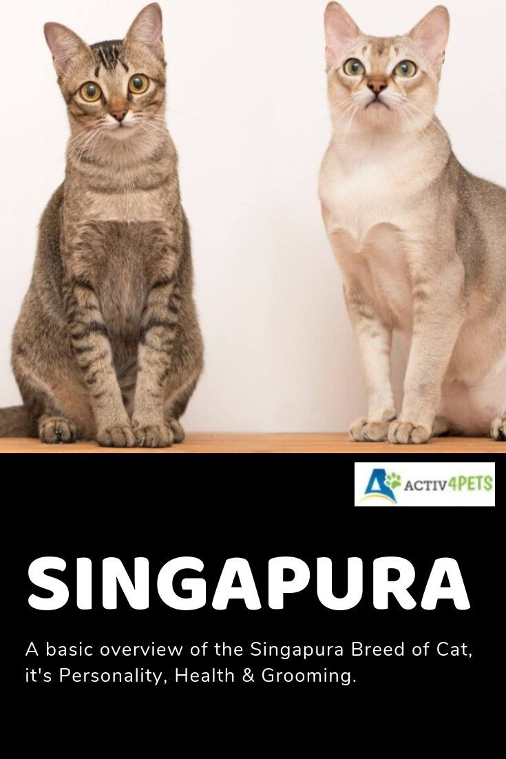 A Basic Overview Of The Singapura Breed Of Cat It S Personality Health Grooming Catbreed Catinformation Cathealth Si Cat Breeds Cat Personalities Cats