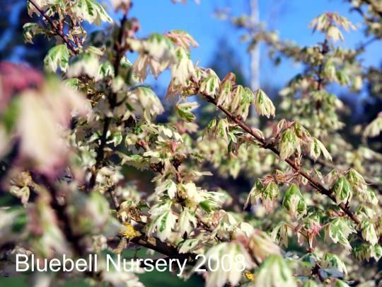 Acer campestre 39 carnival variegated field maple an for Unusual small trees