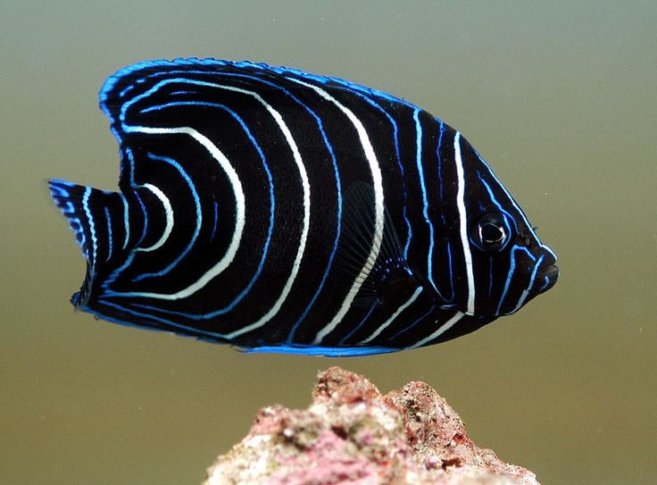 Koran Angelfish for my saltwater aquarium (I've had 4 of these in the last 5 years and they tend to pick at my corals)
