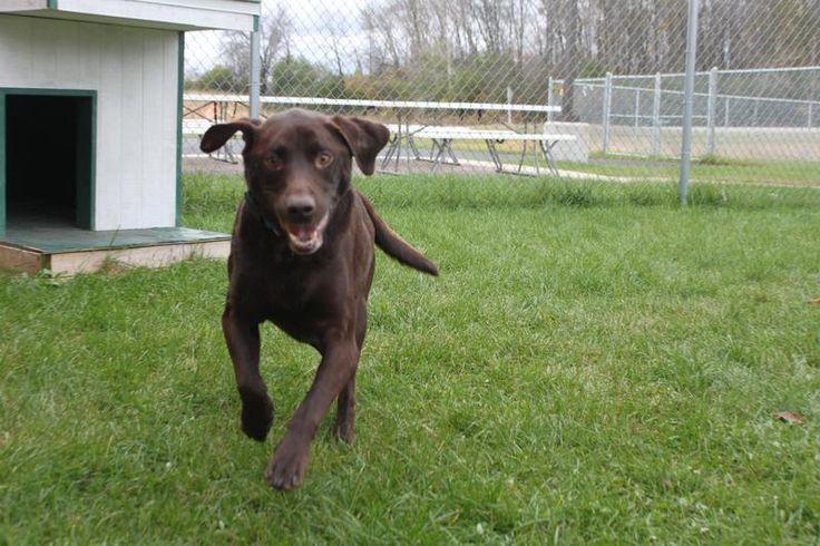 Adopt Jake on Petfinder Lap dogs, Labrador retriever, Dogs
