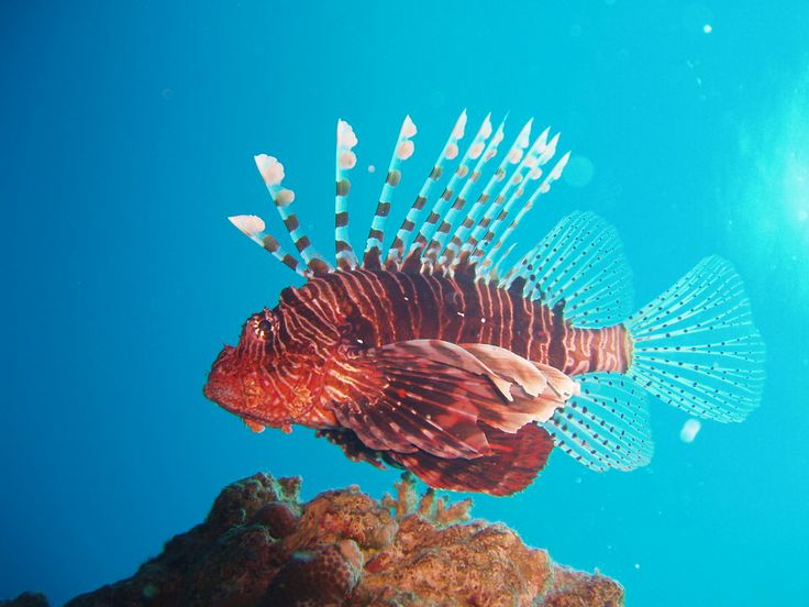 Lionfish, one of the amazing fish you can se here, while diving in the Red Sea Dahab