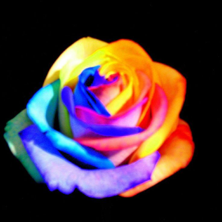 beautiful roses wallpapers for mobile phones