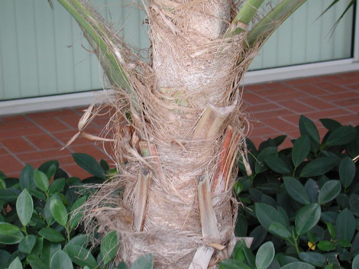 Chinese Fan Palm Trunk. Click to enlarge.