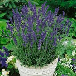 Lavender Hidcote Blue