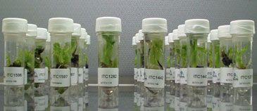 SPC receives new banana varieties tolerant to Panama disease and nematodes - SPC - Secretariat of the Pacific Community