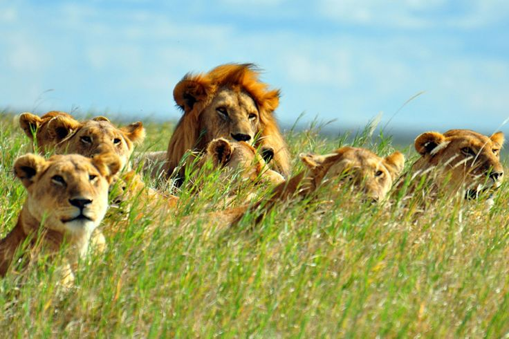 """LION FACTS #2 🦁: """"The African subspecies of lions inhabit large parts of sub-Saharan Africa while the Asian subspecies lives in Asia (India). Strangely, unlike other cat species, lions (Panthera leo) are highly social in nature & live in large groups called prides consisting of several females, their offspring, & a few adult males. Lions tend to prefer savanna & grassland habitats but are also found in forests & bush. Wikipedia.""""  (Image identifier too long.)"""