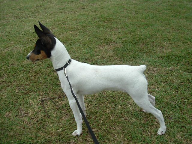 Miniature Fox Terrier - Australian - Not Recognized