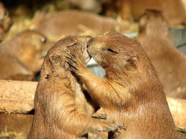 """Molti animali esprimono i propri sentimenti attraverso i """" baci""""..."""