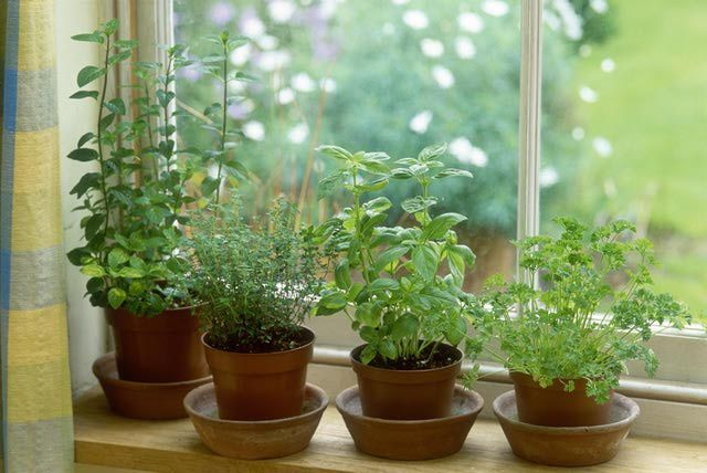 With low light and cool temps, it's harder to grow herbs indoors in winter, but not impossible.
