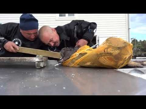 Fisherman Gets Hand Stuck In The Jaws Of A Monk Fish [Video] - This fisherman somehow got his hand stuck in the jaws of a Monk fish. There is a lesson to be learned here… Never go fishing?