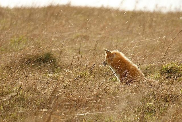 Red-Fox-with-Alderleaf-Wilderness-College-2 by Alderleaf Wilderness College, via Flickr