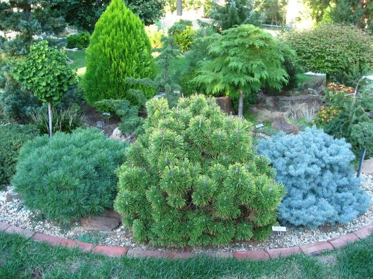 I will do this grouping of three in one photo. All three are approximately the same age and planted at the same time. 2002. I would guess they are all close to 15 years old. Left to right: Pinus strobus 'Horstford', Pinus mugo 'Zundert' and Picea pungens 'St. Marys Broom'. Dave Pinus strobus 'Horstf...