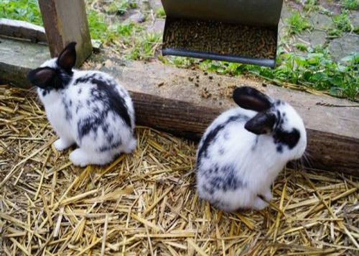baby mini lop bunnies for sale as of july 2013 random