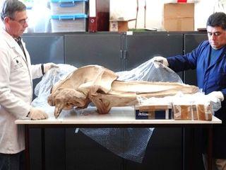 Un gigante en nuestra colección: Esqueleto de ballena Minke #secretsMW