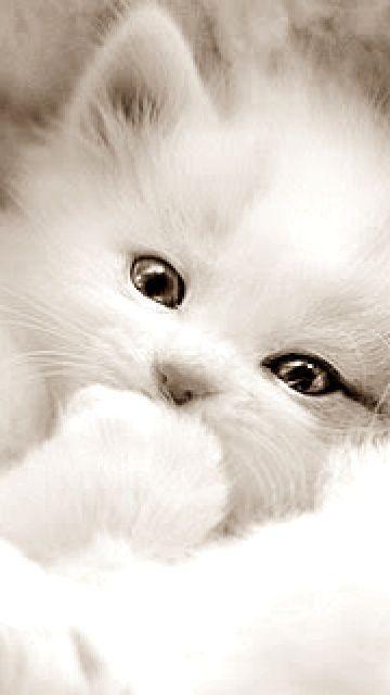 White beauty Kitten #kitten #cat #cats #kitten #kittens #cute – Celine et