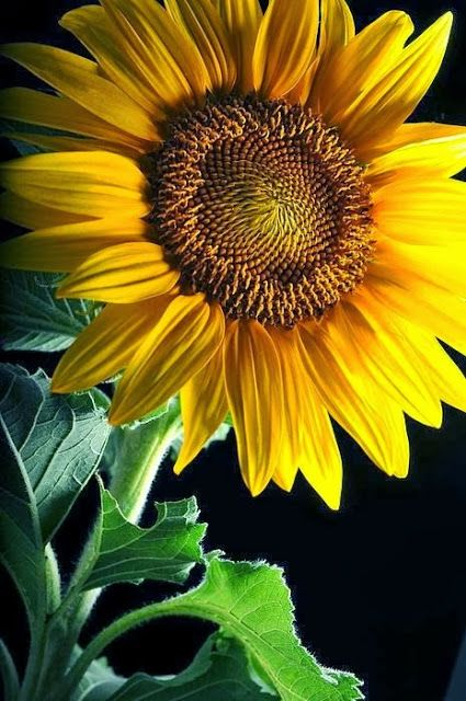 Beauty Mother Nature~Sunflowers originated in the Americas in 1000B.C., where for centuries they were cultivated as a valuable food source. The use of sunflower images as religious symbols has also been documented in some native societies.~
