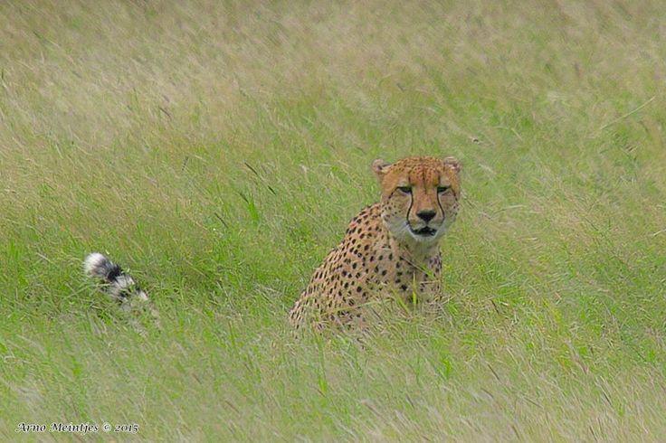 https://flic.kr/p/wkMtkc   IMG05966fb   Cheetah