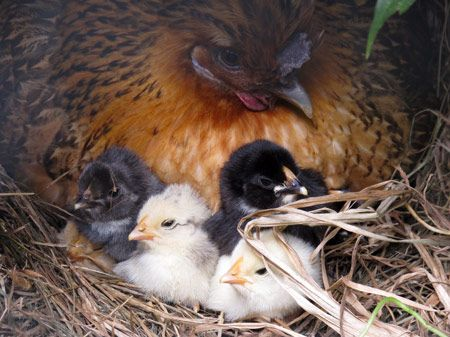 Mummy hen and her chicks