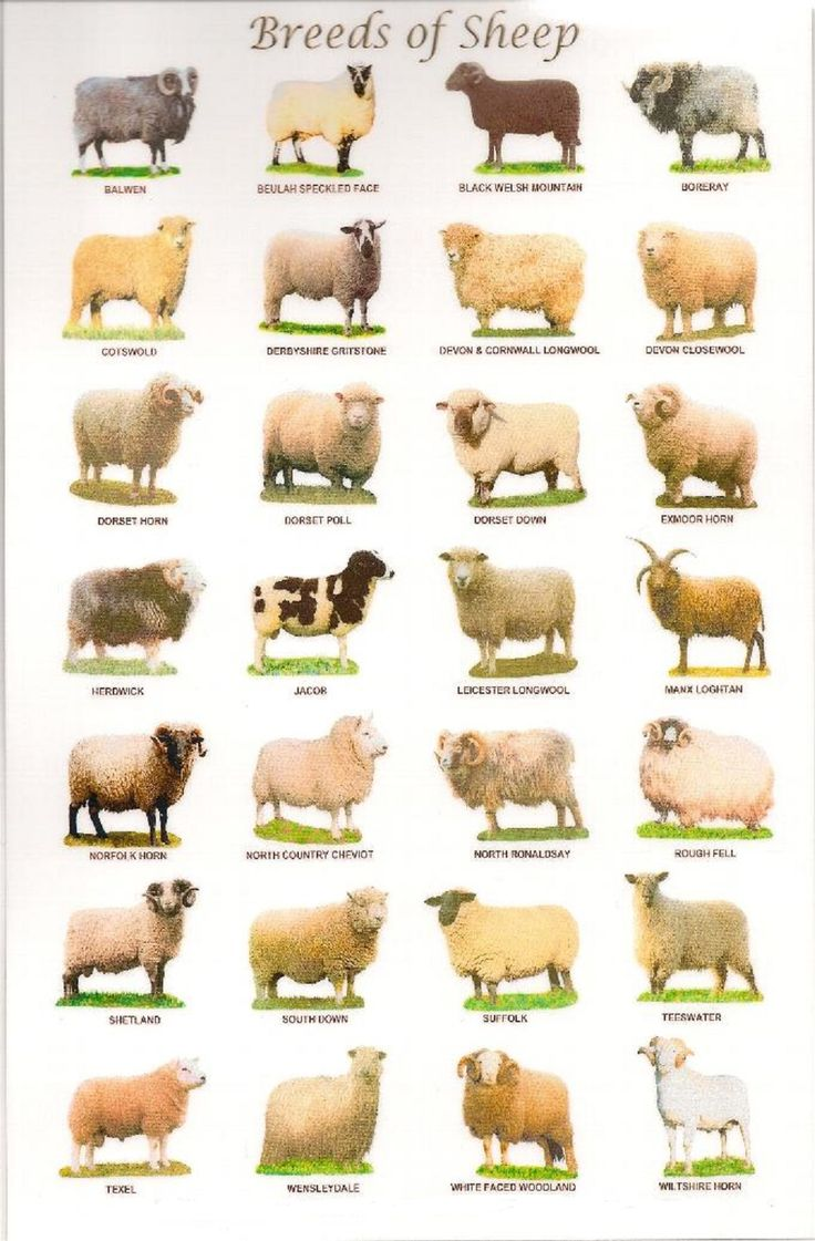 Sheep breeds in the United Kingdom - There are over 60 distinct breeds of sheep in the United Kingdom.