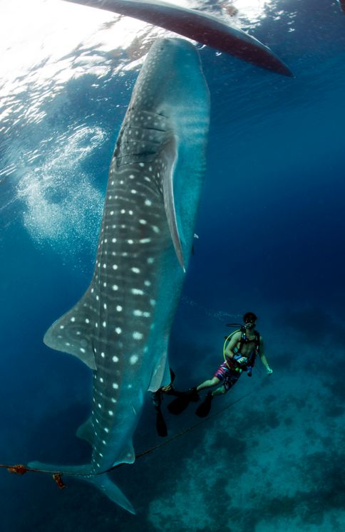 The whale shark (Rhincodon typus) is a slow-moving filter feeding shark and the largest known extant fish species. Photo by Kristoffer Larsen.