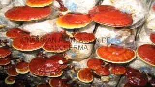 Descubre los beneficios del ganoderma lucidun y sus propiedades curativas