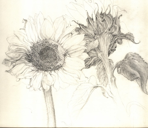 tenayalena:  A graphite study of sunflowers.