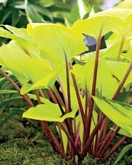 Fire Island Hosta, bright yellow leaves, red stems, leaves turn chartreuse in summer when lavender flowers appear. Best in full shade.