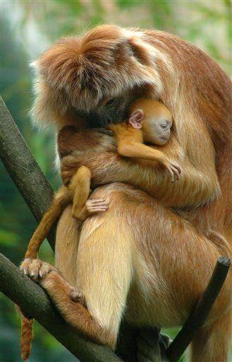 Javanesa Langur, uma espécie em extinção. Mamãe e bebê. Zoo em Budapeste, Hungria