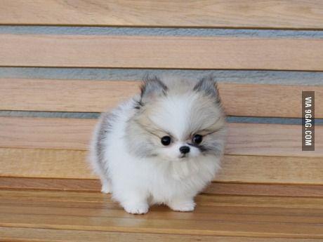 Fluffball Puppy
