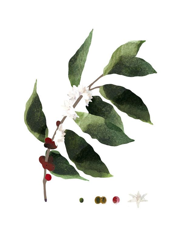 Coffee plant wall art botanical art print by WhiteDoePrints