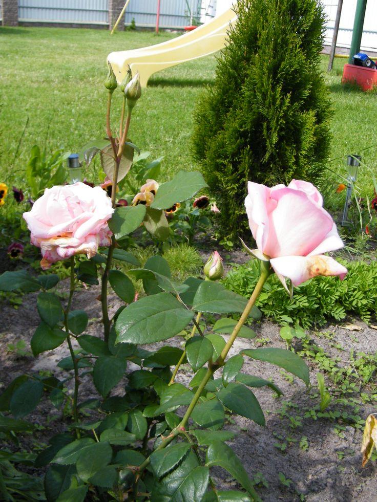 "роза""Коперник"""