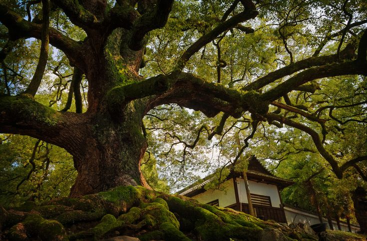 An old tree at the Shoren-in temple  - This photo is published under Creative Commons Attribution-NonCommercial 3.0 license.