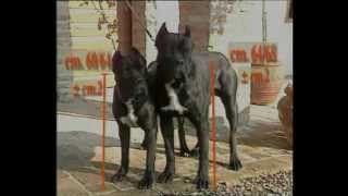 Смотреть онлайн видео Про породу собак — Кане-корсо